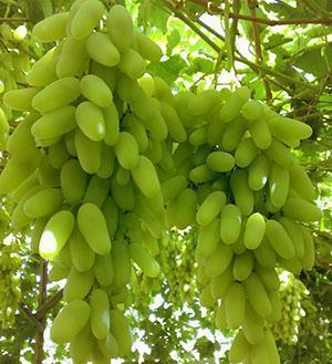 сорта винограда фото описание шахиня ирана