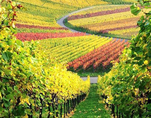 виноград кишмиш лучистый описание фото