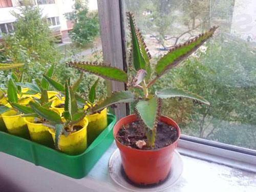 Взрослое и молодые растения каланхоэ
