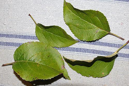 Яблоневые листья