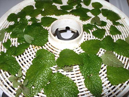 Заготовка листьев в электрической сушилке