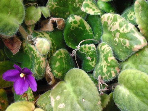 Чрезмерное увлажнение почвы приводит к гибели растения