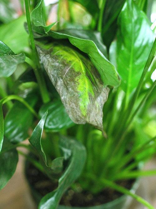 Почему чернеют кончики листьев у спатифиллума