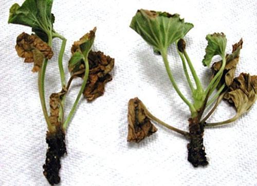 Чрезмерный полив приводит к загниванию растений