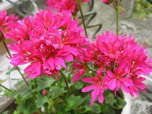 Цветение махровой пеларгонии Lotta Lundberg