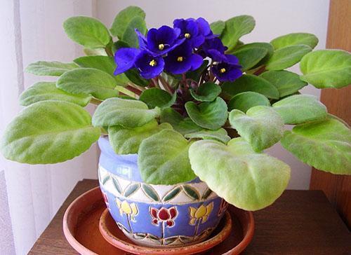 Цветет фиалка в домашних условиях