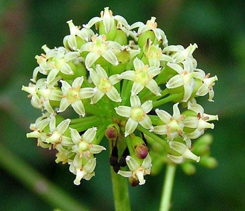 Цветет элеутерококк летом