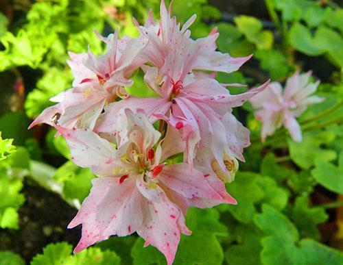 Цветет звездчатая зональная пеларгония Richard Hodgson