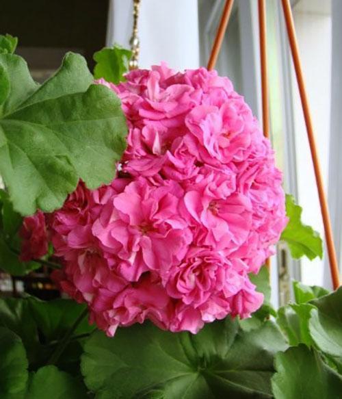 Цветы растения похожи на настоящие розы