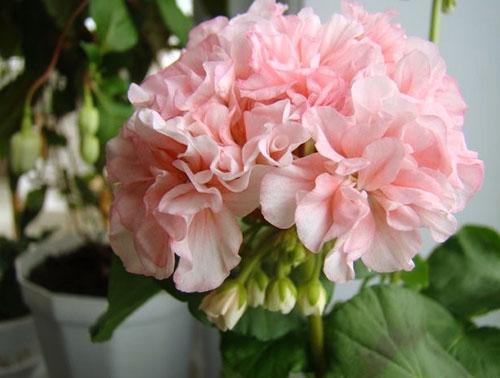 Декоративные махровые цветы