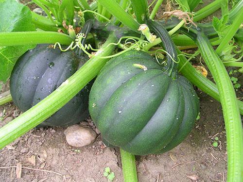 Для получения хорошего урожая обеспечиваем растения правильным уходом