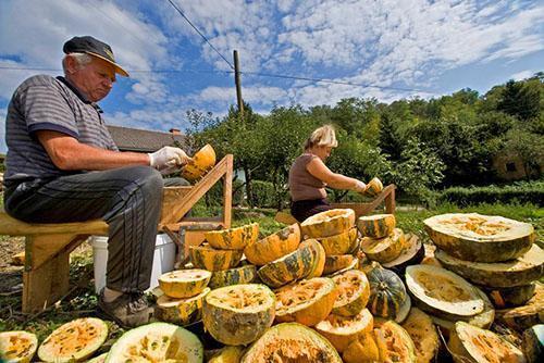 Для выработки тыквенного масла необходимо много плодов