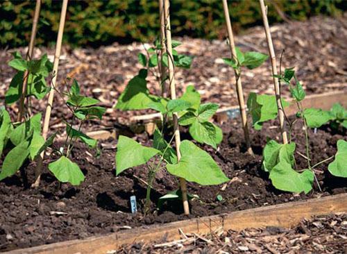 Для выращивания фасоли выбирают светлые грядки