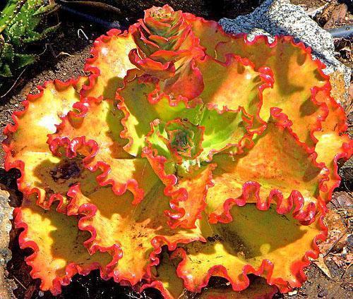 Echeveria'Ruffles' plantmanbuckner
