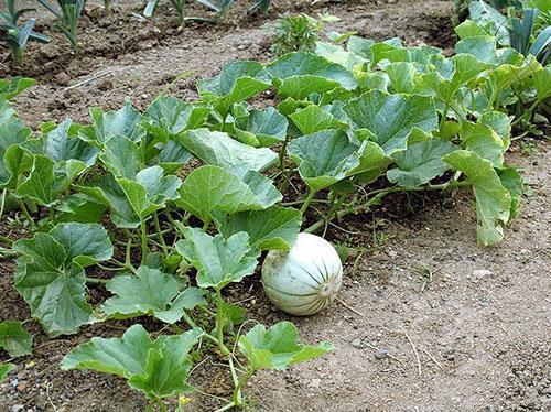 Дыня - выращивание в открытом грунте, домашних условиях