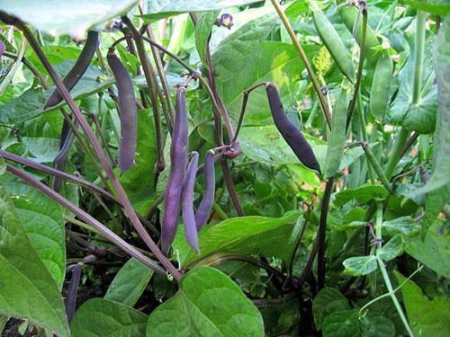 Фасоль стручковая фиолетовая