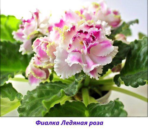 Фиалка Ледяная роза