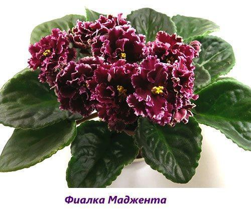 Фиалка Маджента