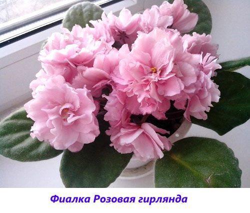 Фиалка Розовая гирлянда