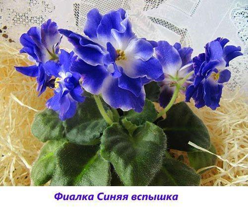 как ухаживать за цветком фиалками в домашних условиях