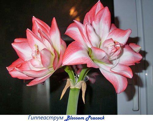Амариллис и гиппеаструм отличия