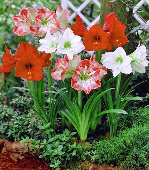 Амариллис уход и выращивание в саду 85
