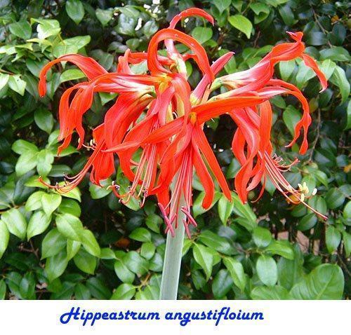 Hippeastrum angustifloium
