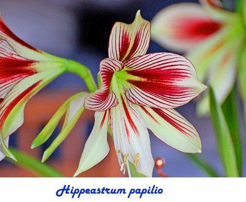 Hippeastrum papilio