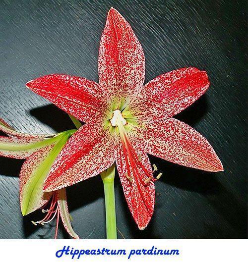 Hippeastrum pardinum