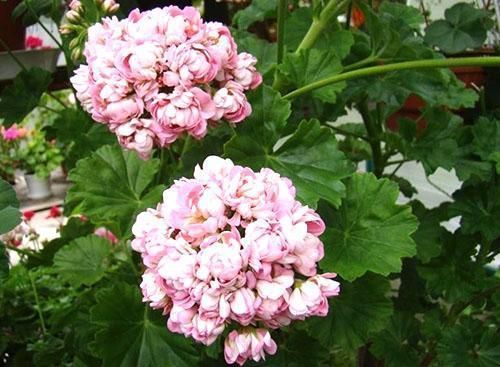 Крупные густомахровые цветы