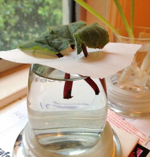 Листы фиалки в воде на укоренении