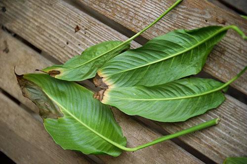 Почему чернеют листья спатифиллума