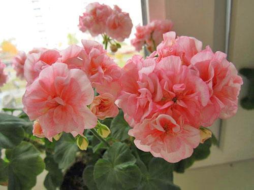 Махровые цветы пеларгонии Bold Ann