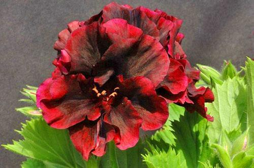 Многоцветная окраска лепестков - отличие пеларгонии от других цветов