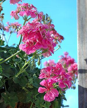 Молодое растение расцветает после зимовки