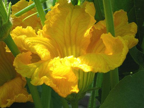 На больших цветущих тыквенных плантациях пчелы собирают нектар
