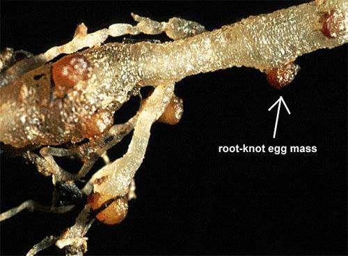 Нематода на корнях растения