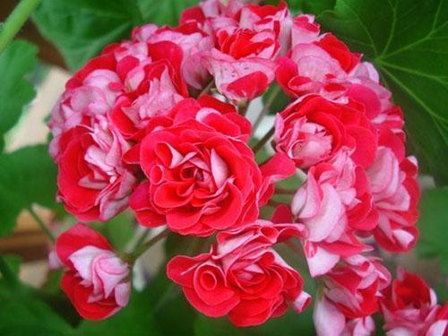 Пеларгония розебудная фото цветов
