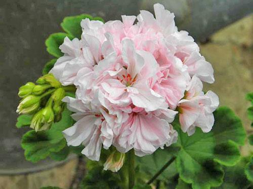 Нежная расцветка пеларгонии Granny Barter