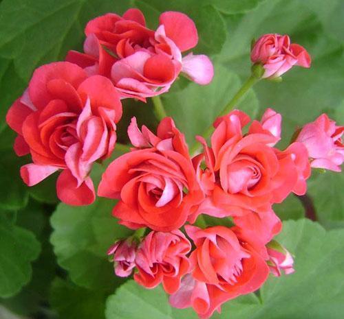 Пеларгония Rosebud Supreme
