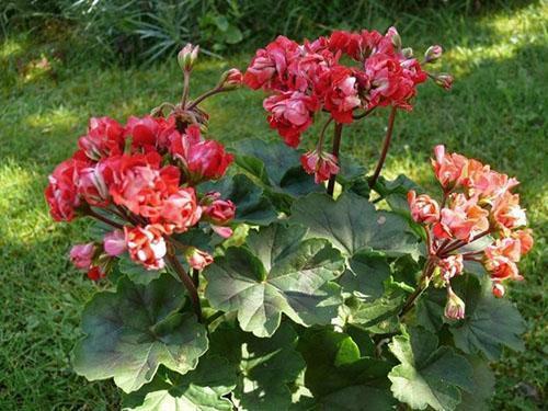 Пеларгония Vectis Rosebud в ландшафтном дизайне