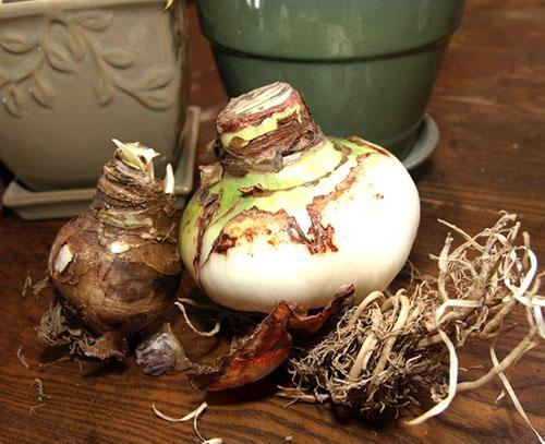 Пересадка луковиц после цветения