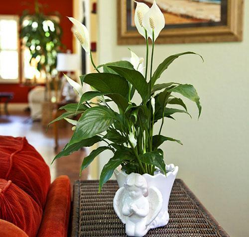 Пересаживать спатифиллум лучше всего весной