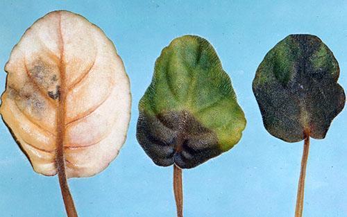 Поражение листьев нематодой