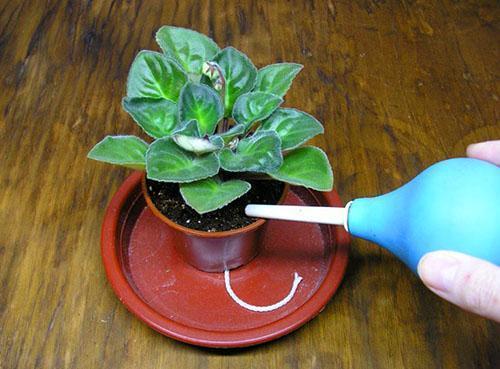 Постарайтесь, чтобы на листья не попадала вода