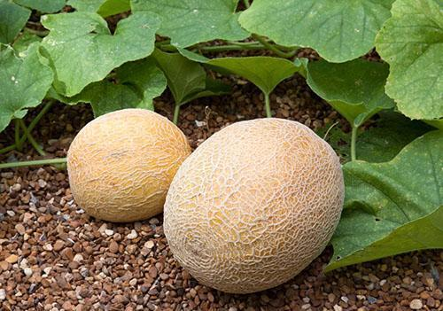 Правильно выбранное место - один из факторов успешного выращивания дыни