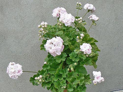 Пышное цветение пеларгонии Millfield Rose