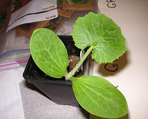 Как посадить дыню в домашних условиях - Stels-benelli.RU