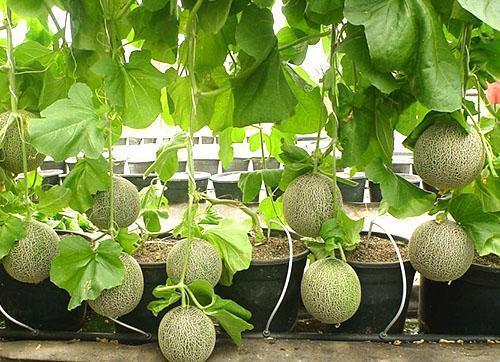 Как выращивать дыню в домашних условиях - Automee-s.ru
