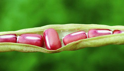 Семена адзуки используют для приготовления разных блюд